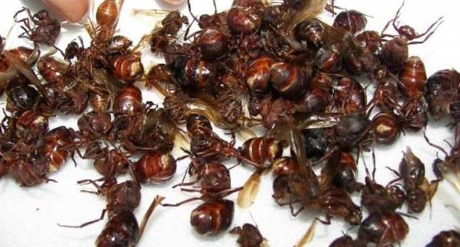Hormigas voladoras José Antonio Fonseca Vaca